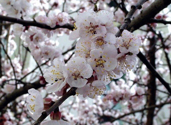 이제부터 쉽지 않습니다. 순서대로  살구꽃, 배꽃, 복숭아꽃, 앵두꽃이라고.. 뭐 저같은 사람이 보면 전부 벚꽃이라고 퉁칠것 같은데.. https://t.co/3I69re72sk