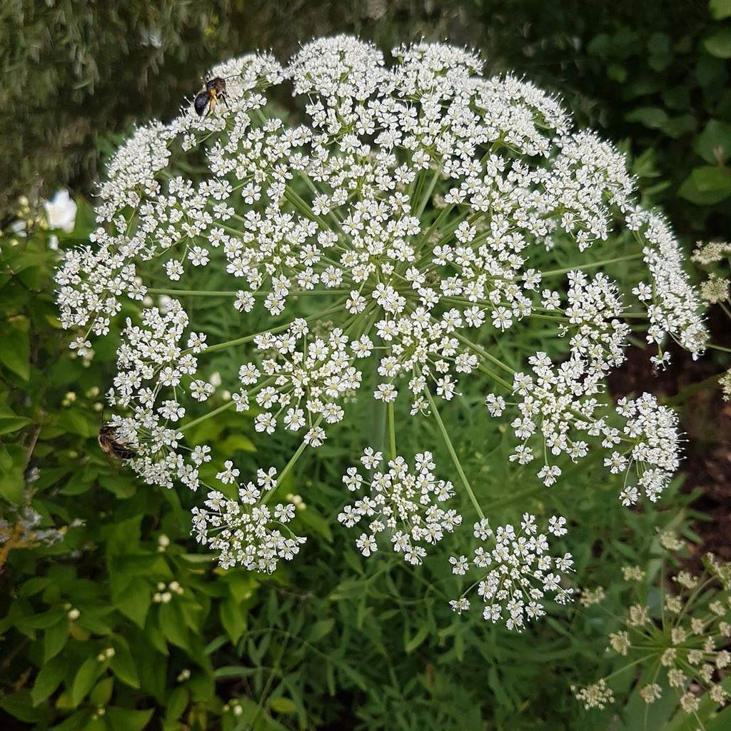 If you like umbels how about Laserpitium silver.  #plants #summerflowers #favourites<br>http://pic.twitter.com/FoxAs0gGXB
