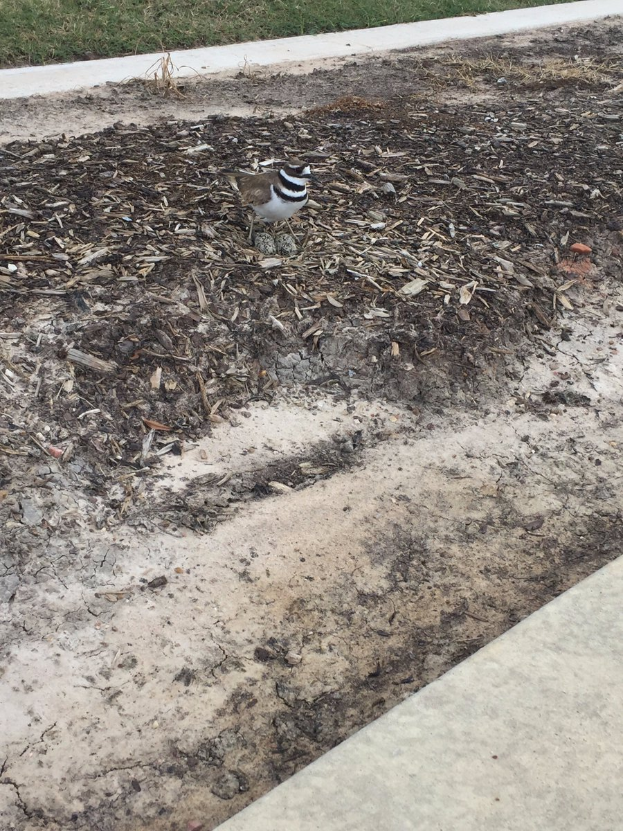 This mama #bird  made a pretty good camo nest for her eggs.  But, it&#39;s right off our sidewalk, so we helped her out. #reservedseeding <br>http://pic.twitter.com/56Ox1PLZK1