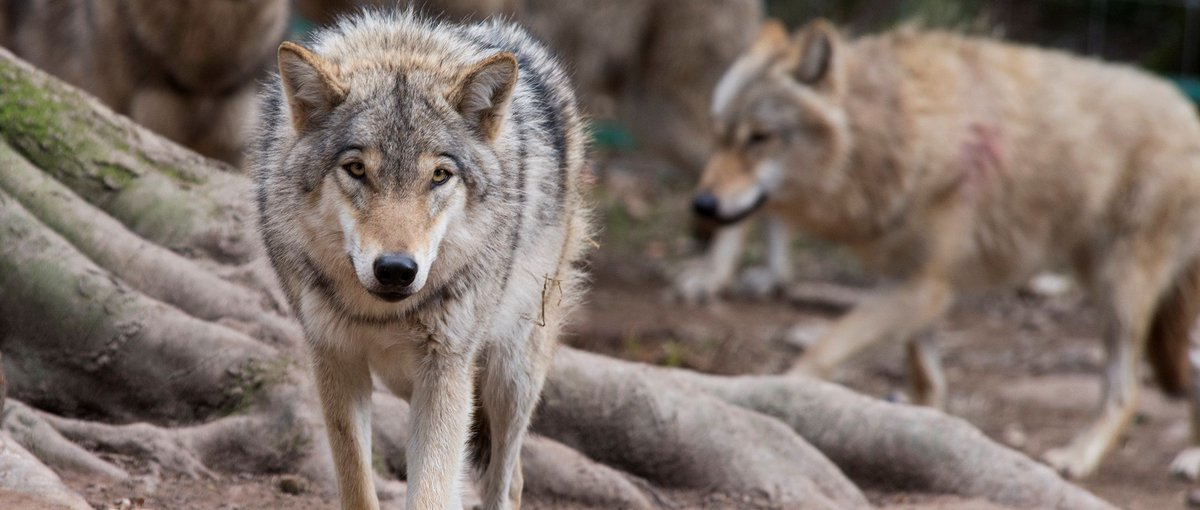 Prepping for our wolves&#39; release from quarantine. Interested media please DM for access  #journorequest #media #pressrelease #PressBriefing<br>http://pic.twitter.com/42hyvgWJES