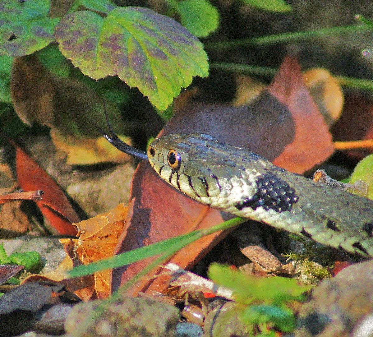 Magnificent Grass Snake in Glos garden @NatureUK @RSPBNews @Britnatureguide #snakes #reptiles @CotswoldsInfo @gloswildlife<br>http://pic.twitter.com/emS0CIWOkL