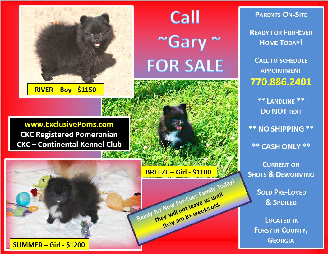 For male pomeranian to breed