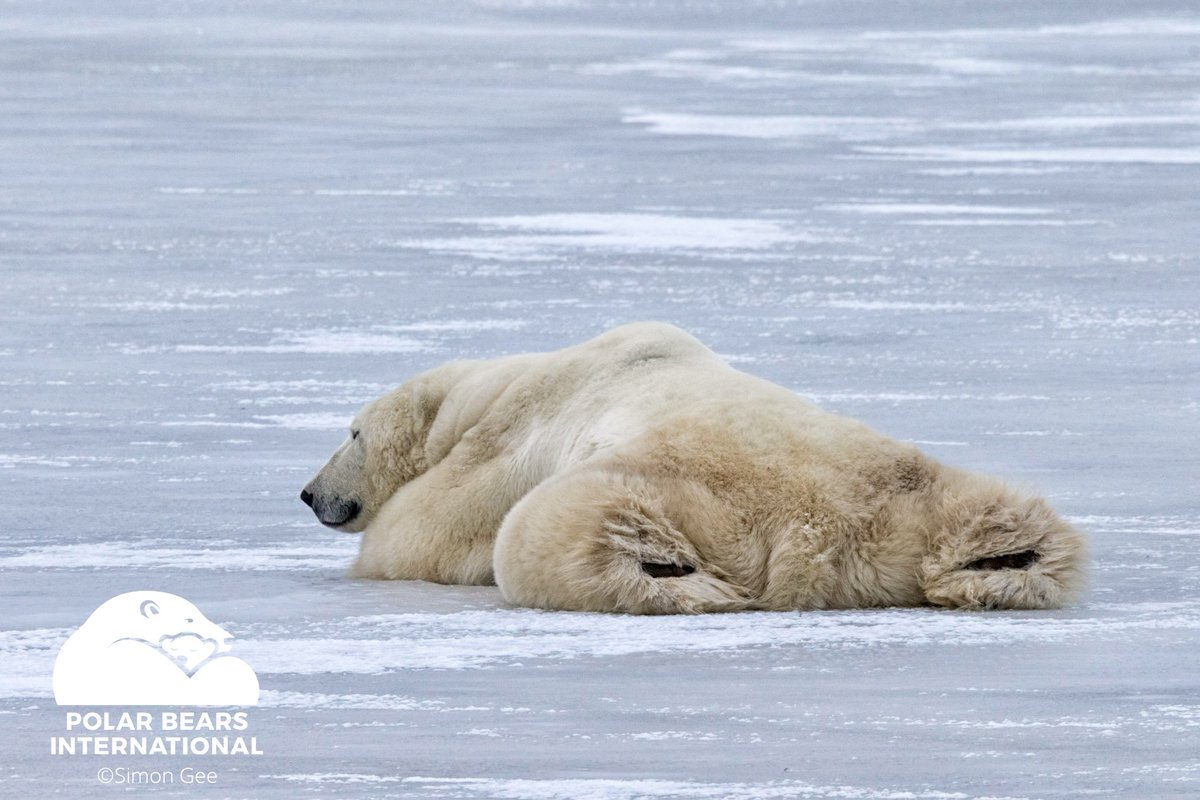 Maintain momentum by melting the stress away from time to time! Maybe with a lazy prone #polarbear hip opener. #YogaBearWednesday<br>http://pic.twitter.com/YKiU9bmJ8r