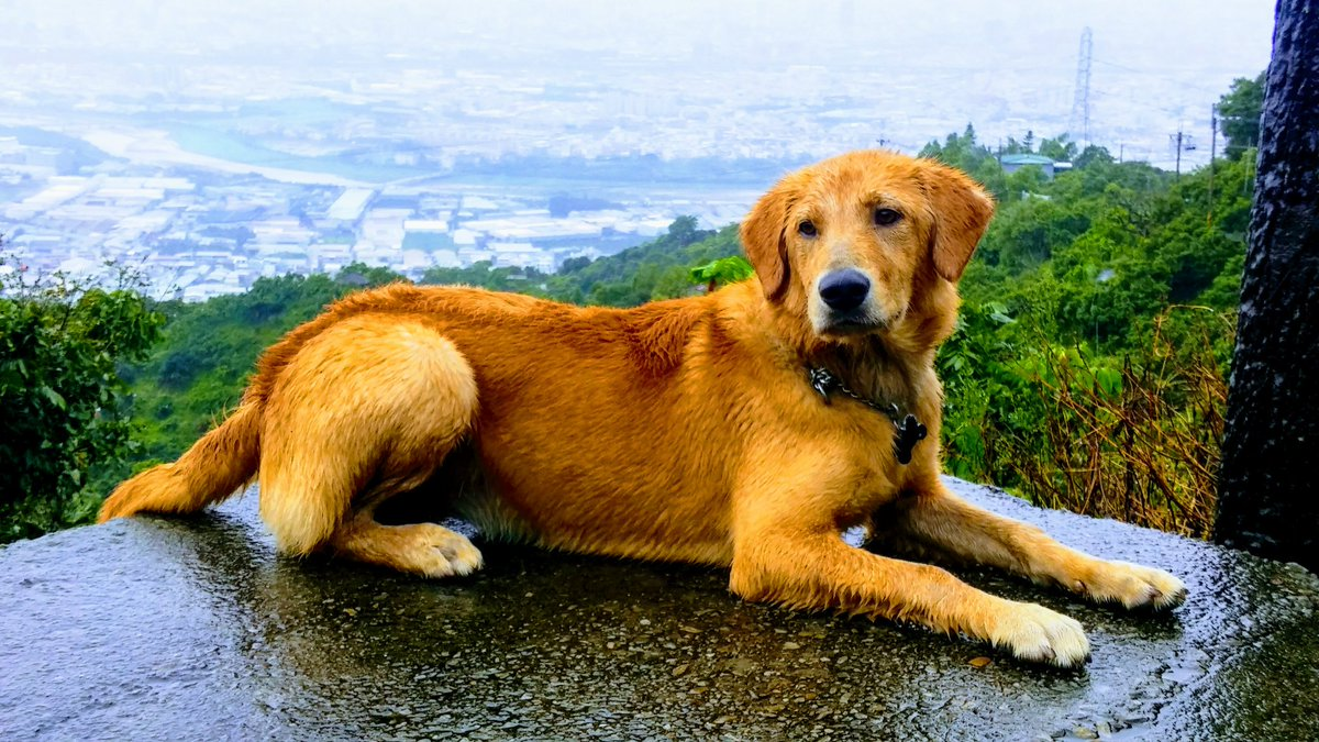 My beautiful girl! #labradorretriever #Taiwan #exercise #joggers #hiking<br>http://pic.twitter.com/Z9grRApT8g