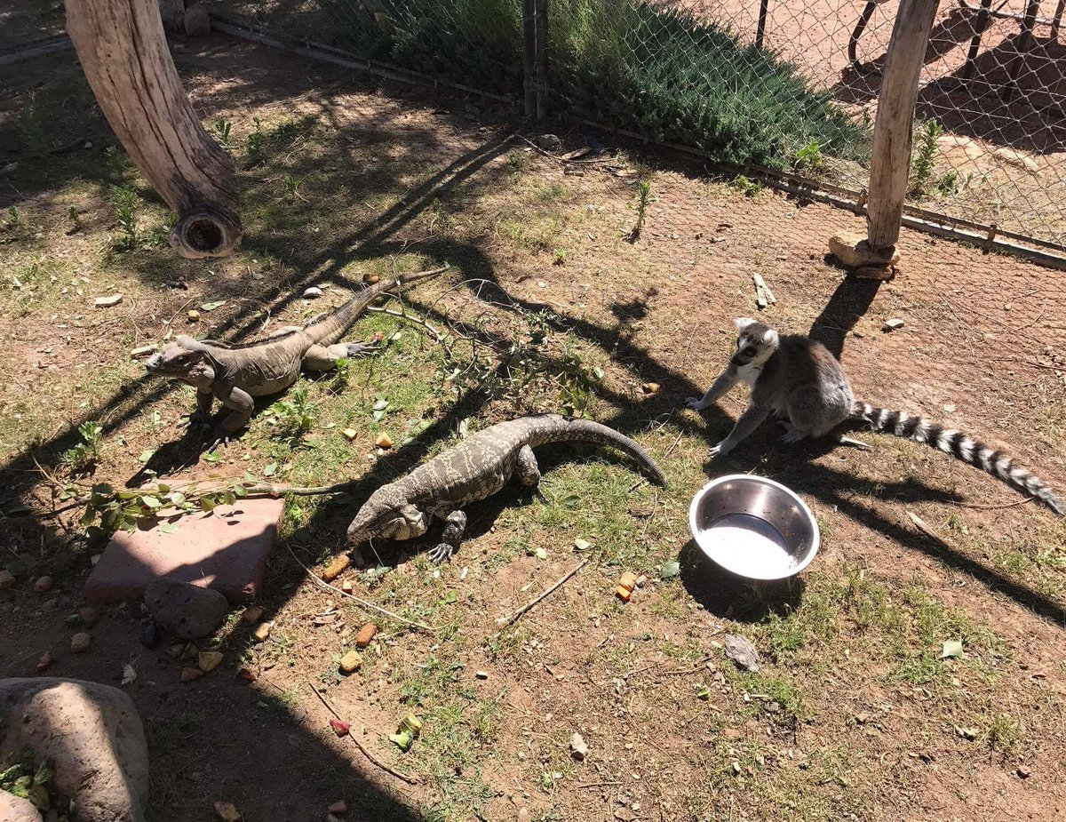 &quot;It&#39;s day three, and they have yet to notice that I, a lemur, are not one of them...&quot;  Photo credit-Sarah Fredrickson. #lemurs #reptiles <br>http://pic.twitter.com/KObt8jRjTK