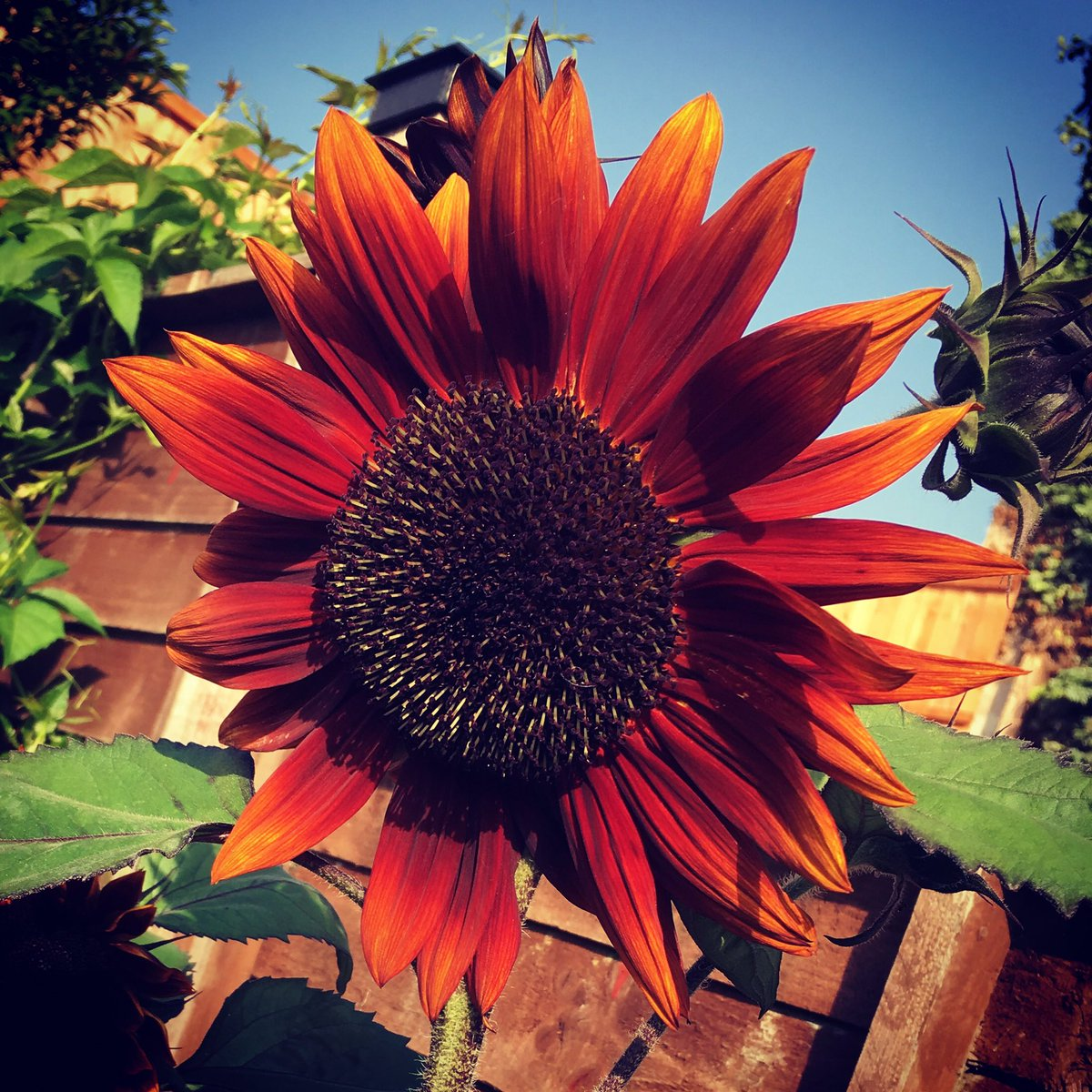 Helianthus annuus &quot;Claret&quot; F1 #Sunflowers #mygarden #sarahraven<br>http://pic.twitter.com/czJPg3vbxQ