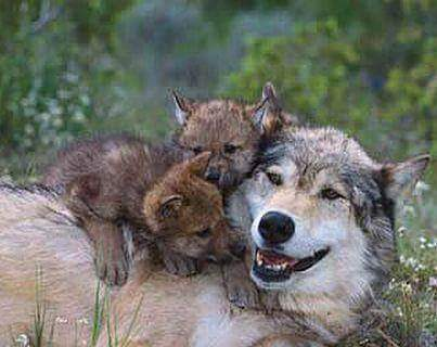 Her smiling pleases me I love my Wolf mummy… #ProtectWolves #Wolves  #YellowstoneWolves #StandForWolves  #Keepwolveslisted #Yellowstone<br>http://pic.twitter.com/yHnQFdz9IK