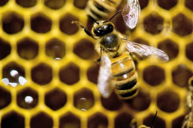 Could #probiotics protect honey bees from pesticides? @WesternU researchers say maybe  http:// bit.ly/2sR4Up0  &nbsp;   #ecology #environment<br>http://pic.twitter.com/nOAOONzlRM
