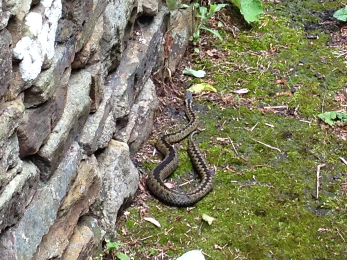 Chance encounters with adders - always a thrill! This female was a beauty and soon retreated to cover. #reptiles #weardale<br>http://pic.twitter.com/bx3HjMyZwI