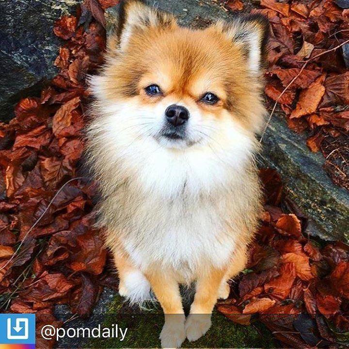 RepostBy @pomdaily: Doggie selfie #doglife #doglove #dog#pomeranian #cutedogs #cutedogsofig #fluffypuppy #flu… http://ift.tt/2tRyxE7pic.twitter.com/poRveA18s0