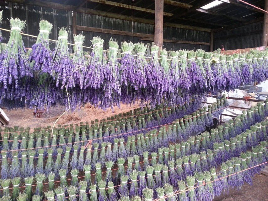 For dried #lavender  Think #Shropshire #Lavender #English grown #deep colours #fragrant #robust #beautiful  http:// bit.ly/1S6djbo  &nbsp;  <br>http://pic.twitter.com/gkrhZDP4QM