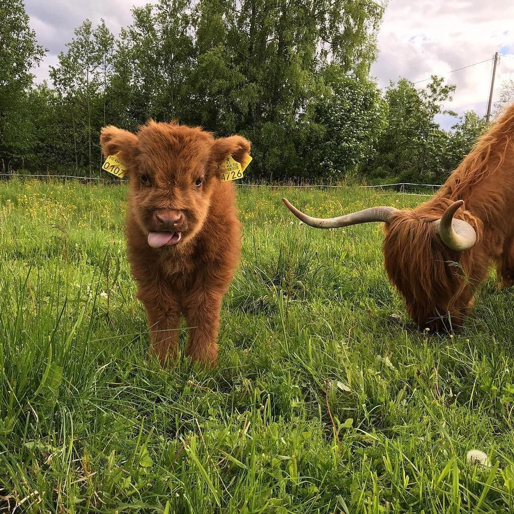 What a cutie. #moo RT @SaarelaHC: #highlandcattle #highlandcow #cow #cows #cattle ttps://t.co/gsJTr1TV8O<br>http://pic.twitter.com/gDl3mK6T1h