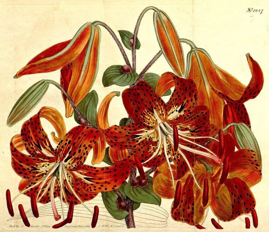 Tiger Lilies (Lilium lancifolium). #SciArt by Sydenham Teast Edwards for John Sims, Curtis&#39;s Botanical Magazine, V…  https://www. instagram.com/p/BVpIS80gYzb/  &nbsp;  <br>http://pic.twitter.com/UJbtxdgeQ2