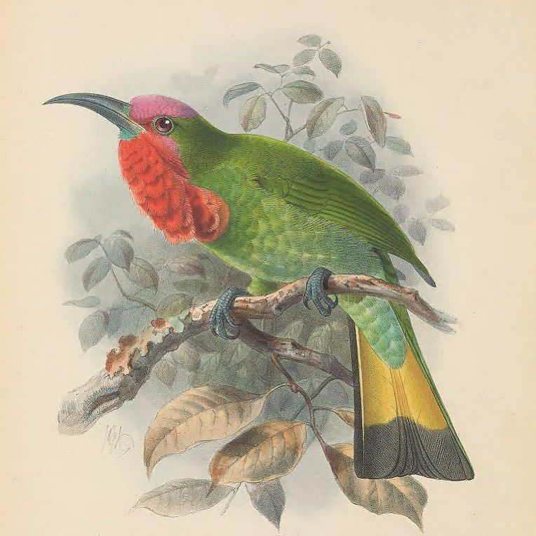 Happy #Feathursday! Red-bearded Bee-eater (Nyctyornis amictus). #SciArt by John Gerrard Keulemans for Henry Eeles …  https://www. instagram.com/p/BVpIyUUBvOs/  &nbsp;  <br>http://pic.twitter.com/Ols1iZzCse