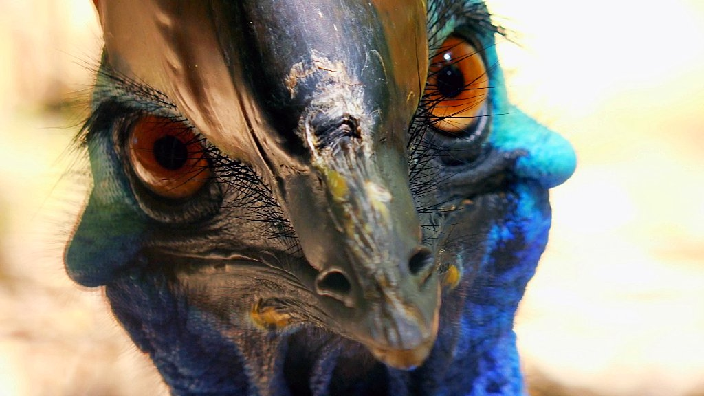How about a staredown from a cassowary to kick off your #Feathursday? (These #birds don&#39;t mess around!) <br>http://pic.twitter.com/rf2TajhR1k