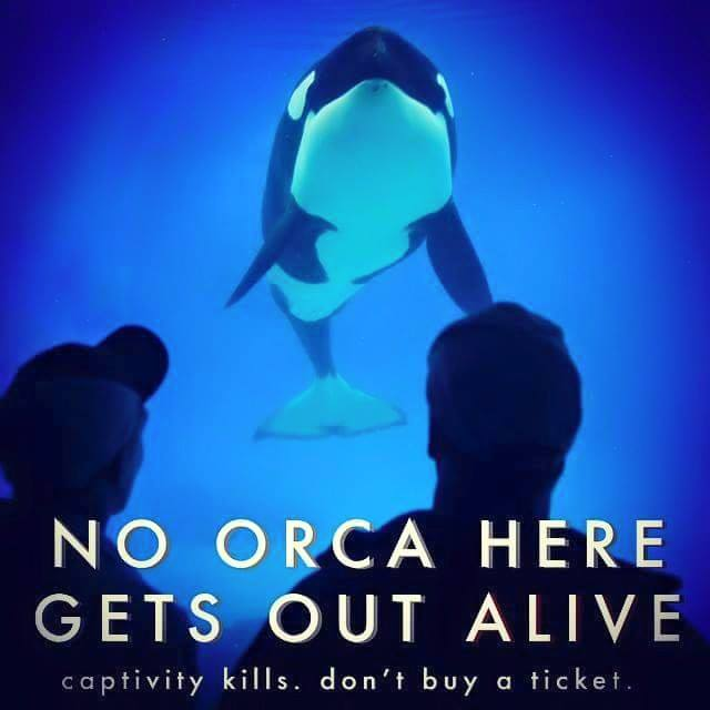 We&#39;ve NEVER seen an ORCA GET OUT ALIVE from any of #SeaWorld&#39;s parks   What about #Morgan @SeaWorld? She was BORN FREE   #OpSeaWorld<br>http://pic.twitter.com/BkqjmxCDi3