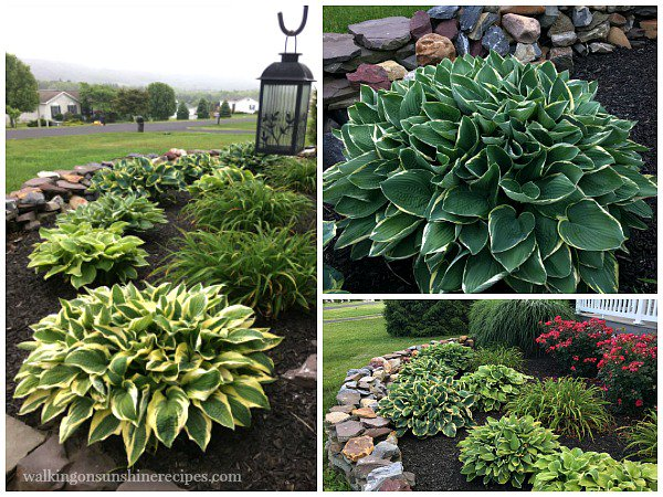 Come see the hostas growing in our garden and learn a few tips on how to grow amazing hostas.  http:// bit.ly/hostas-WOS  &nbsp;   #gardening #plants <br>http://pic.twitter.com/HyzwYz46u9
