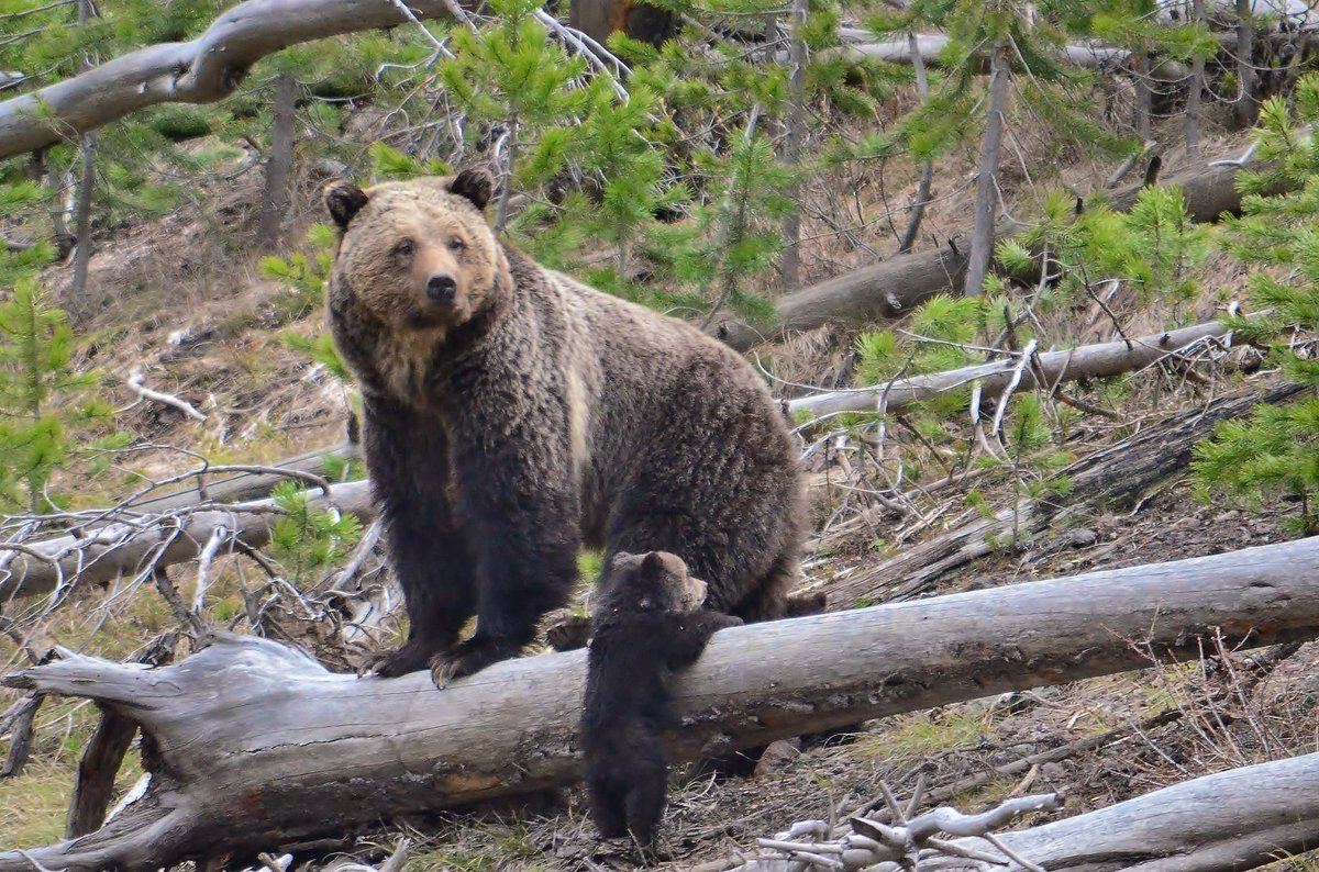Thanks to conservation efforts the Yellowstone grizzly bear has reboun...