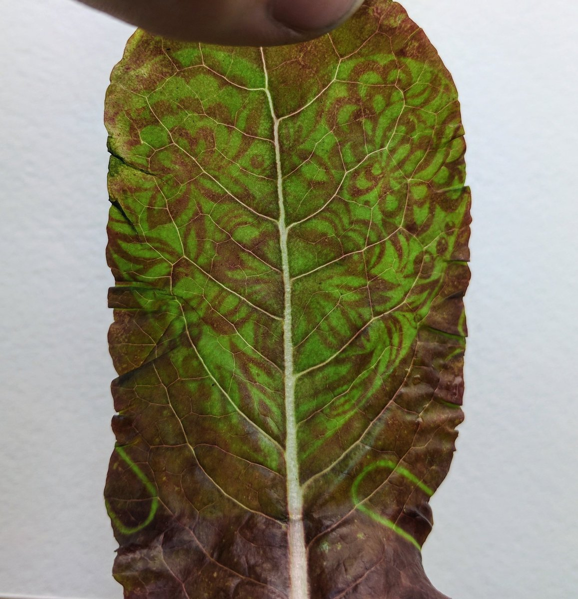 Leaves as canvas, light as brush, pigments as paint.  Excited to bring the idea to #plantbio17   !  #vegasketch #playwithyourfood<br>http://pic.twitter.com/73VtshkPWW