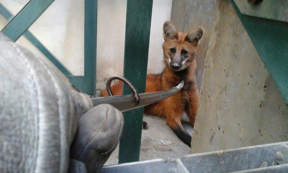 Lobo-guará é capturado na avenida Getúlio Vargas em Jacareí, SP https://t.co/z80bSX8l2S #G1