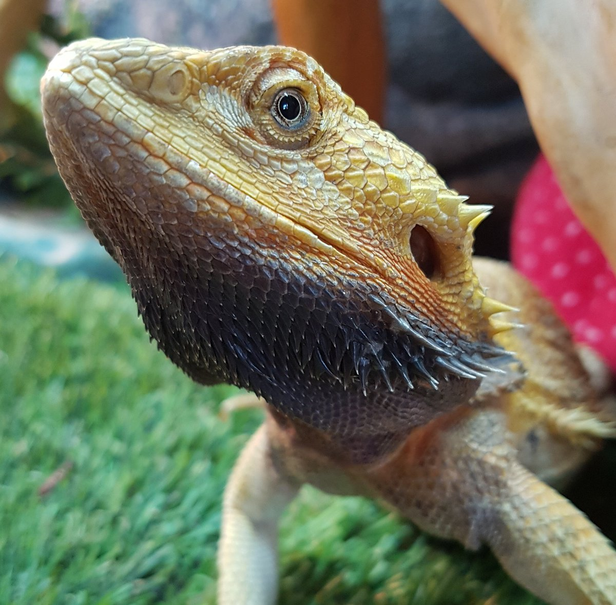 Check out the amazing colours on Flame the dragon this evening. Not sure what this means - she doesn&#39;t seem unhappy. #lizards #reptiles <br>http://pic.twitter.com/dxKacNGJlE