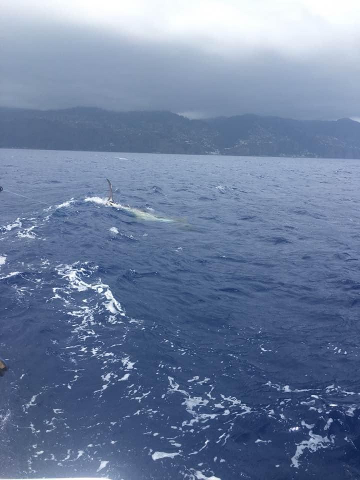 Madeira - Grander released a 600 lbs Blue Marlin. #BillfishADay