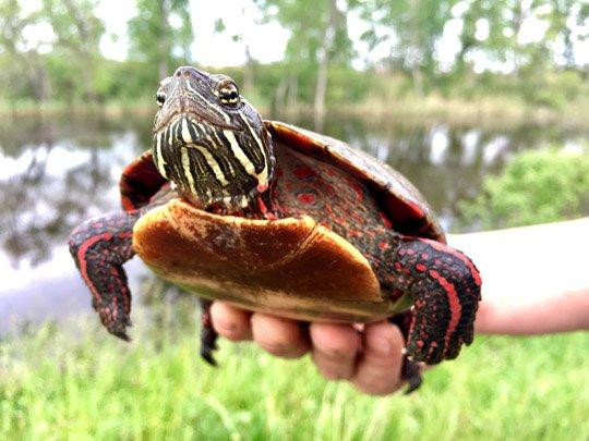 .@UToledo&#39;s J.Refsnider studies harmful algal bloom influence on Lake Erie turtles #womeninSTEM #greatlakessci   https:// utnews.utoledo.edu/index.php/06_0 5_2017/scientist-studies-effect-of-algal-blooms-on-turtles &nbsp; … <br>http://pic.twitter.com/Zt5sSauUYq