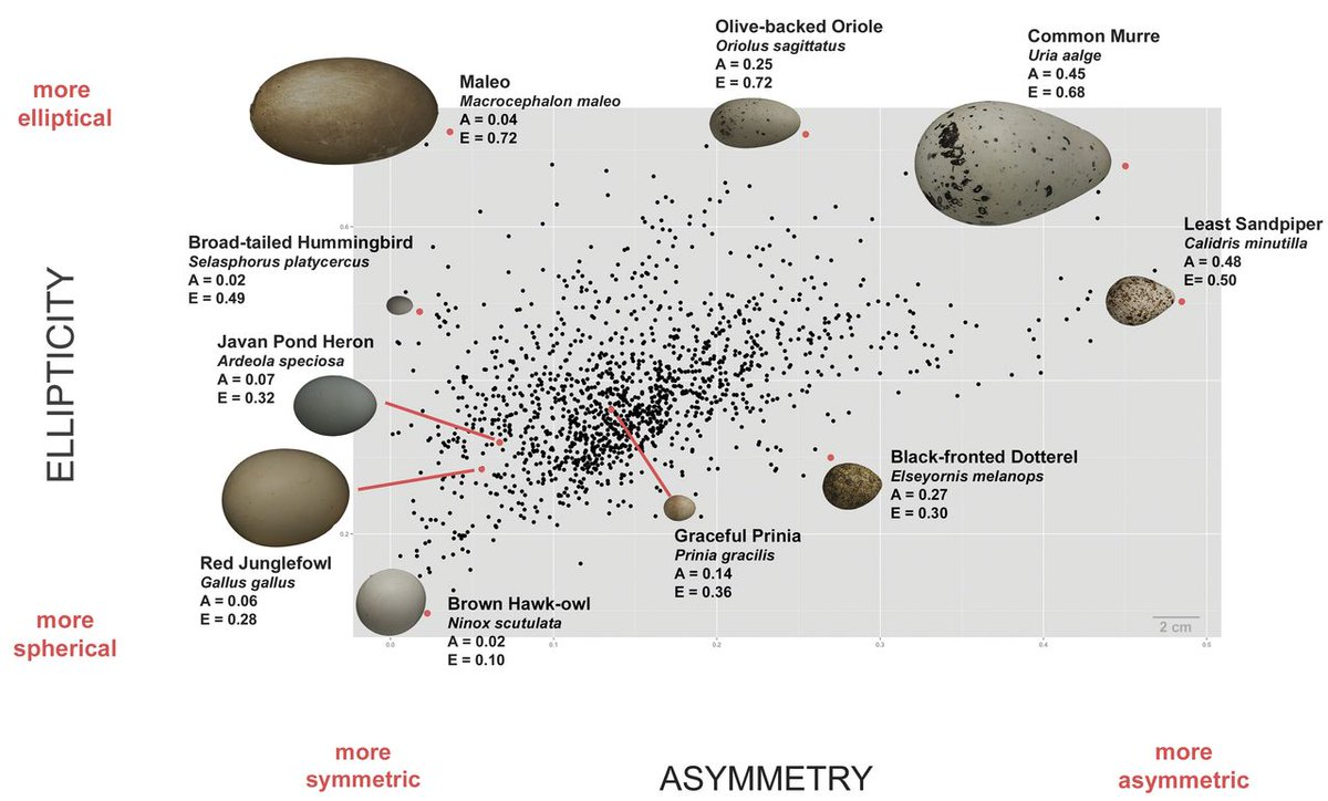 Cool graphic showing variation in #bird #egg shape from  http:// science.sciencemag.org/content/356/63 44/1249.full &nbsp; … <br>http://pic.twitter.com/4xHu9UJlEA