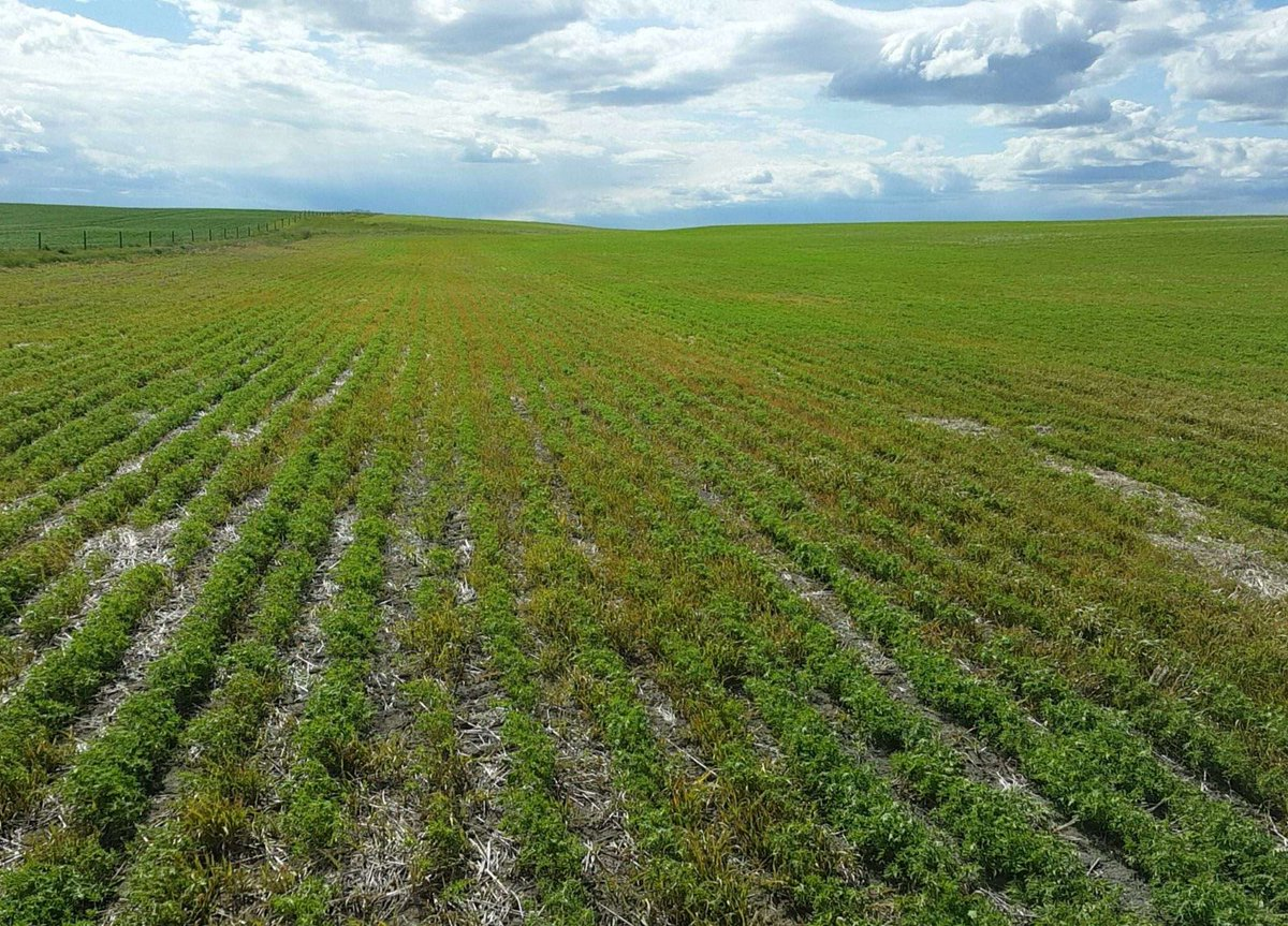 Solo ADV from @BASFAgSolutions worked like a charm on our Clearfield Lentils. Sprayed at 3-4 leaf stage. #woodsfarms #westcdnag #agronomy <br>http://pic.twitter.com/8utSulnImm