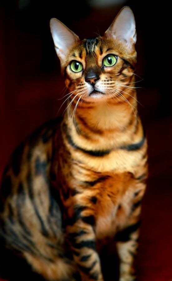 Beautiful Bengal...  [Click here -   - for all the best Cat Pix]