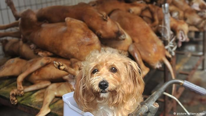 Despite protests, an annual #dog #meat festival gets underway in southern #China   http:// p.dw.com/p/1Fm0e  &nbsp;   <br>http://pic.twitter.com/dgCsS4SWKC #Climat…