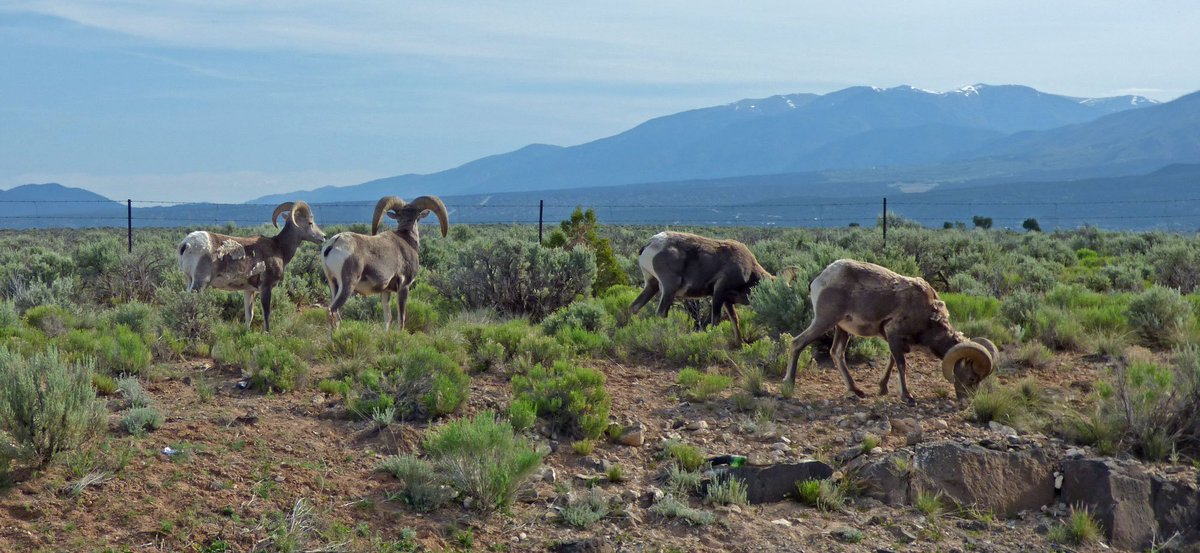 Bighorn sheep grazing at the Rio Grande Gorge. So close that my car would have been trashed if they charged. #NewMexico #roadtrip #wildlife <br>http://pic.twitter.com/wiWFK0Cv4f