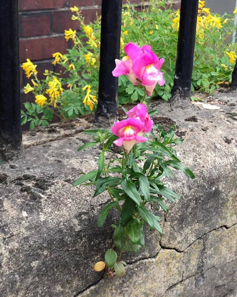 The cracks in the cement are the bits where possibilities flower #flower #ambition #inthecity  http:// ift.tt/2s1jgiG  &nbsp;  <br>http://pic.twitter.com/97KK8I3yvZ