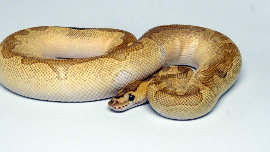 Lesser Enchi Clown Male Ball Python by Capital Reptiles, $3500 #snake #herps #reptiles #pet #morph #morphs #pets  https://www. morphmarket.com/us/c/reptiles/ pythons/ball-pythons/74661?utm_source=twitter&amp;utm_medium=post&amp;utm_content=74661&amp;utm_campaign=twitter-featured-ad &nbsp; … <br>http://pic.twitter.com/Nywze1nVRJ