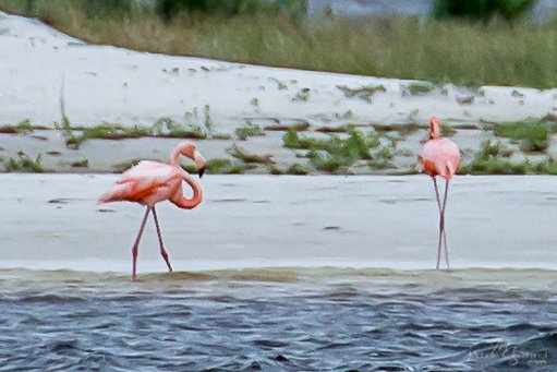 Pair of American #flamingo spotted resting from #tscindy today in #orangebeachAL on #bird island. Hope they enjoy our #southernhospitality<br>http://pic.twitter.com/n4LmDQ4tiI