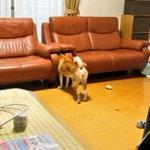 あまりに静かだと思ったら椅子の間に挟まる愛犬のお尻が可愛すぎるw
