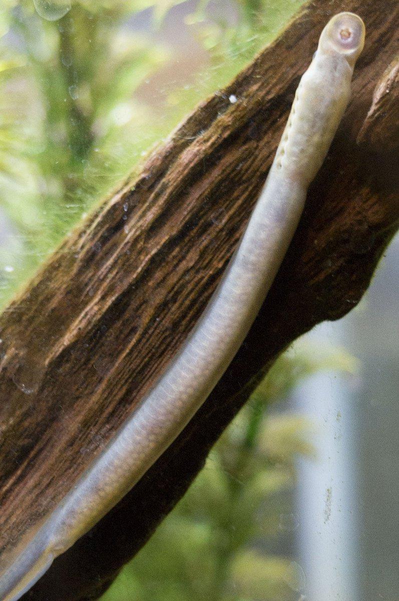 抱卵したスナヤツメの写真が出てきた…結構珍しいかもしれない。。