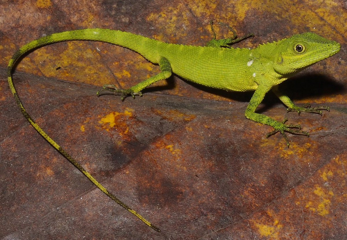 Chameleon discovered again, after 180 years