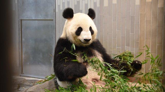 本日2017年6月12日、上野動物園のジャイアントパンダ「シンシン」が出産しました(写真は5月29日撮影)。東京ズーネット最新記事☞
