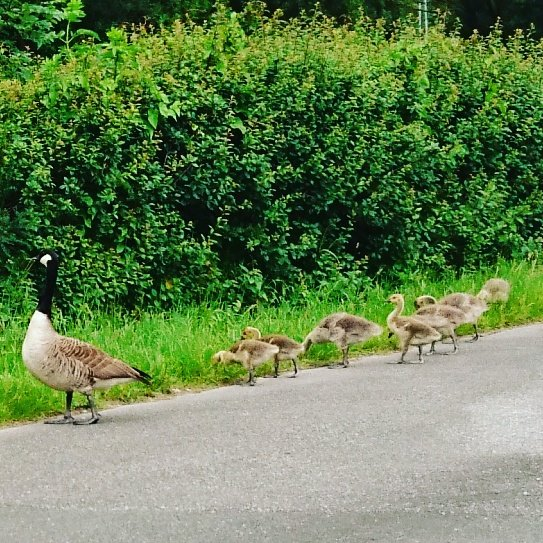 So cute! Geese family, risking it every morning and night crossing a busy road. #geese #gosling #Flintshire<br>http://pic.twitter.com/gOcjP7KeRu