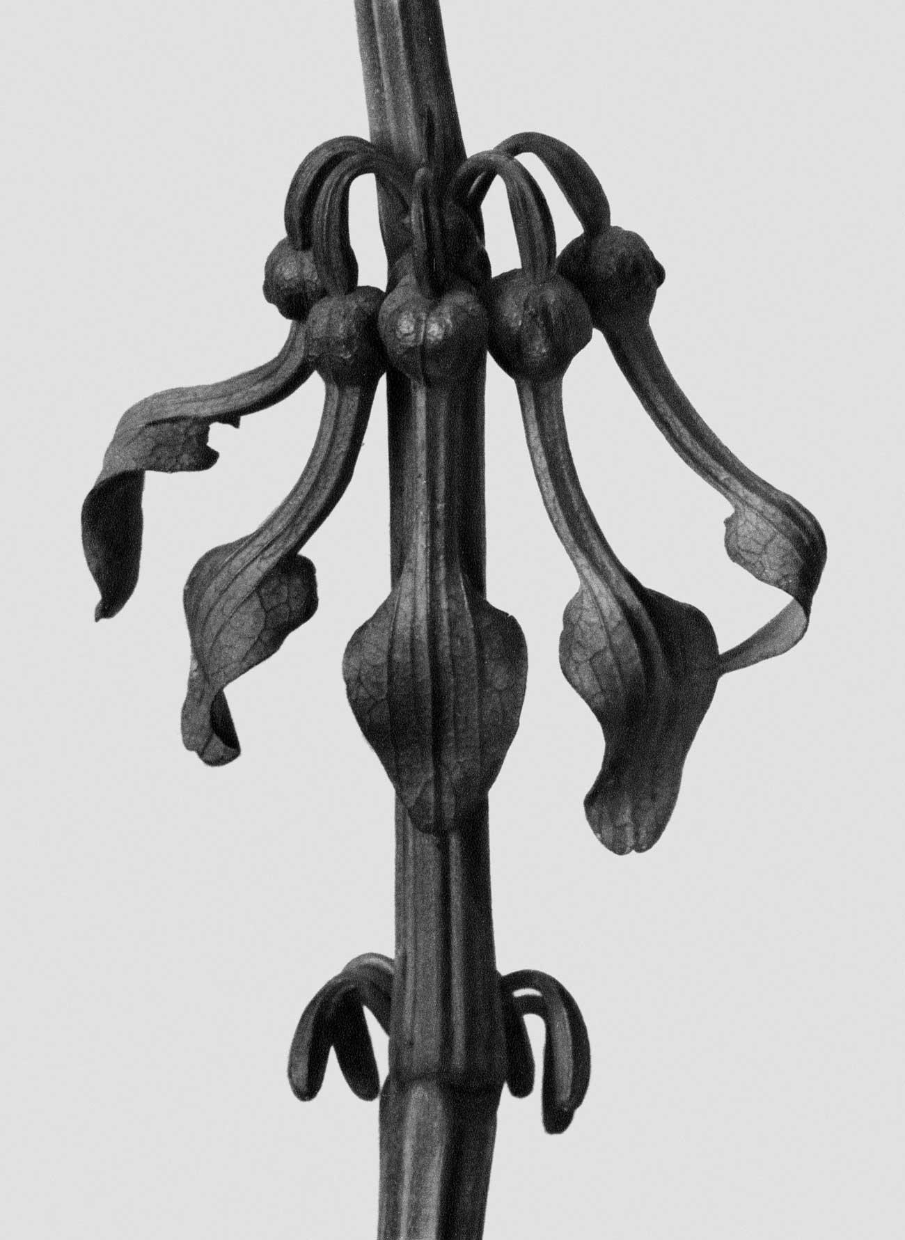 + ↓ᅠユ→ᄃミ↓ンᄡ↓ᄃタ, ↓゙ミ↓ᄃタ→゚ᆲ↓ᄃタ→マト→ᄀン ↓ユト→ᆭト→ヒᄉ→ヒᄂ↑ᄈᅠ ↓ユト→ヒネ■ユᅠ↓ネリ↑ᄚタ ↓ラニ↑ᄉᆲ→ツリ...  Karl Blossfeldt 1865 - 1932 Aristolochia Clematitis, 1928 https://t.co/03ZedAC0cM