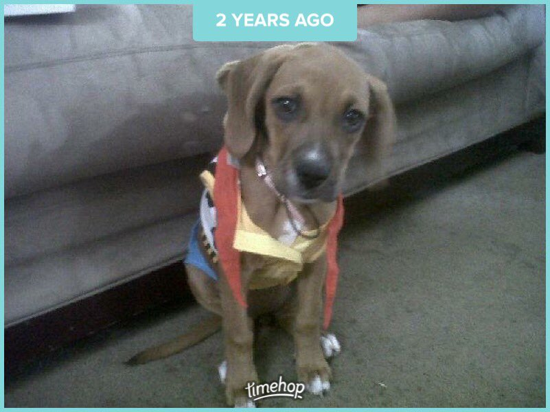 My beautiful baby girl when she was Woody for a Halloween Party  #puppers #puppy #boxer #woody <br>http://pic.twitter.com/MD5V1ixoT7