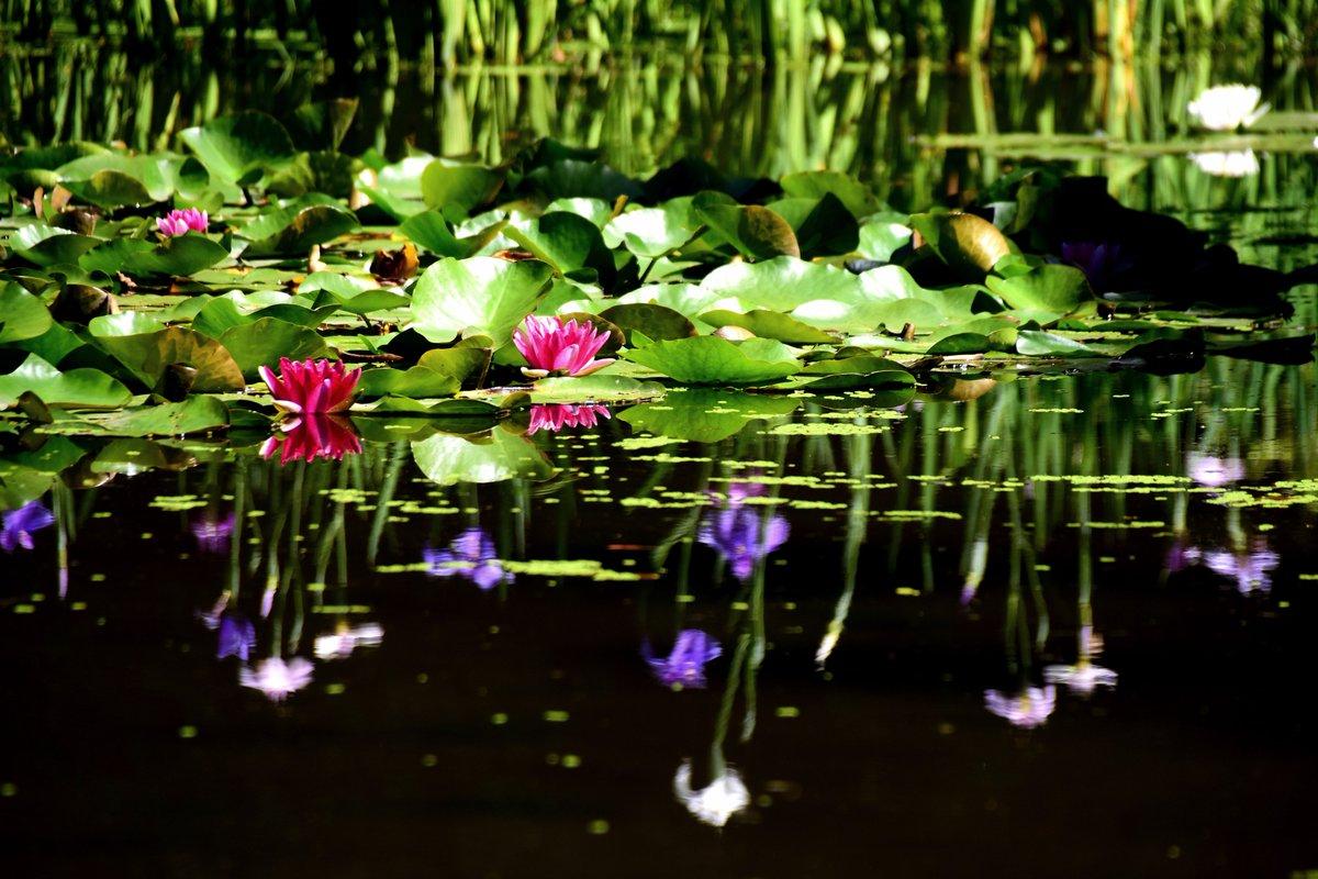 6月5日の京都にて #京都 #平安神宮 #睡蓮 #photography #coregraphy #自写自賛 https://t.co/b8x3MfJj5T