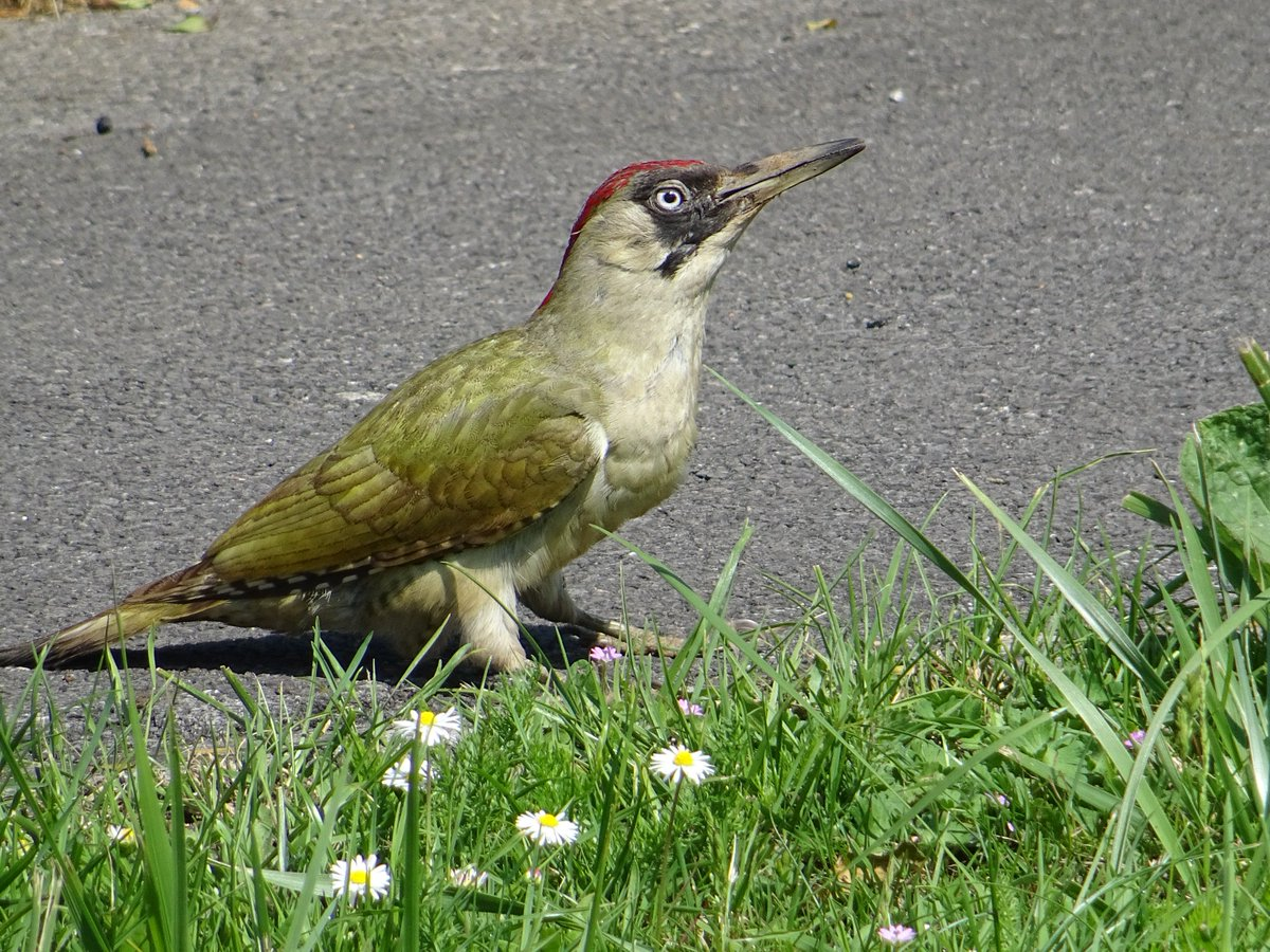 I came across this rather smart-looking female Green Woodpecker this morning.  #Woody #Woodpecker #GreenWoodpecker<br>http://pic.twitter.com/wBKVgdbjdt