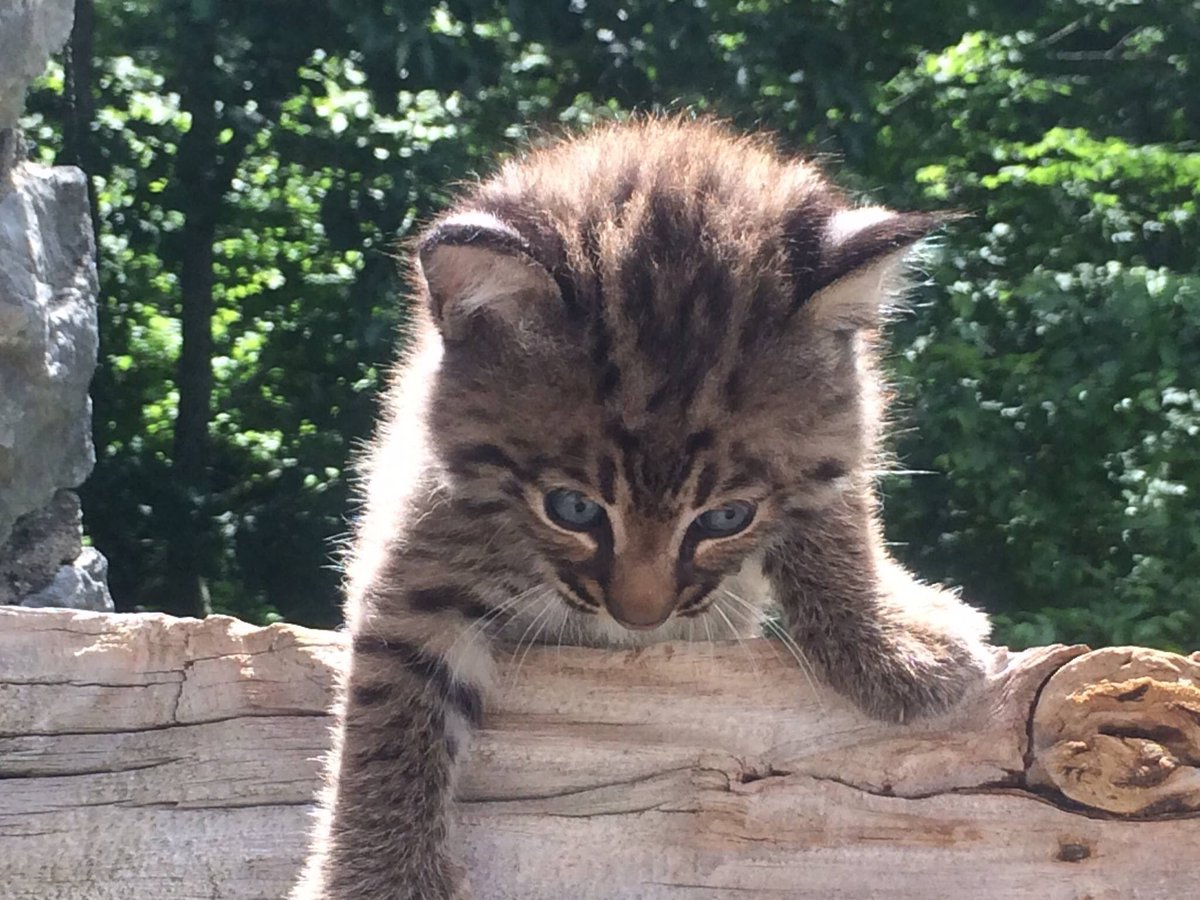 Your weekly dose of cute: Bobcat kittens at Big Oaks #WildlifeRefuge in #Indiana