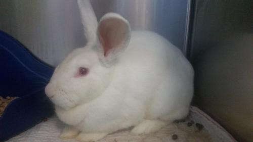 Xena is a sweet, adult New Zealand from #Moore, OK.  http://www. petfinder.com/petdetail/3731 9738 &nbsp; … <br>http://pic.twitter.com/XnXe2VueAQ
