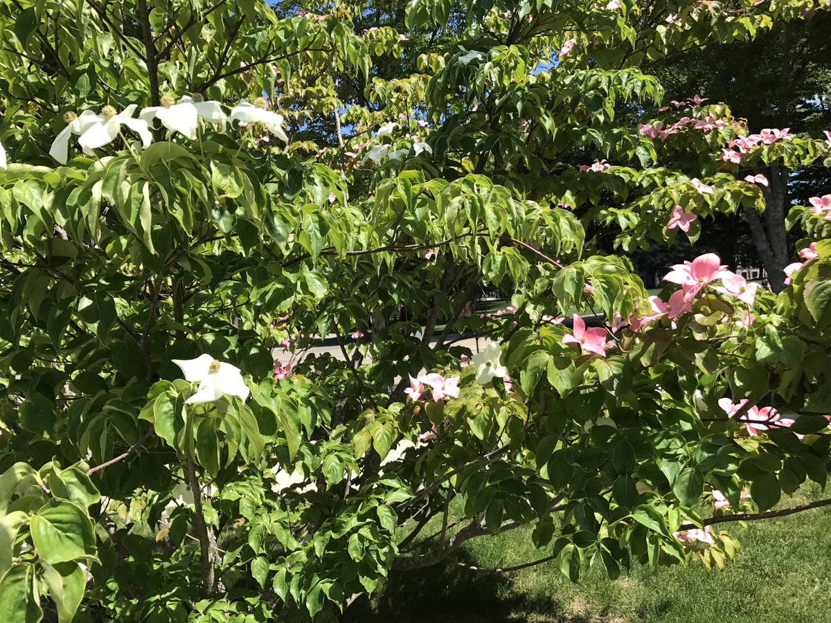 Chris Lane On Twitter Ive Never Seen A Dogwood With Both Pink And