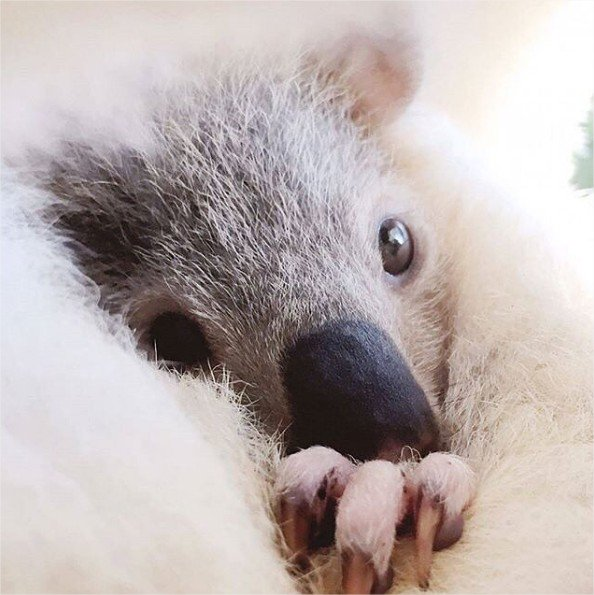 Impossible de résister au regard de ce petit koala 😍  #seeAustralia #lovely   📷 wildlife_hq_qldzoo (via IG) https://t.co/wBvGaWjUF2