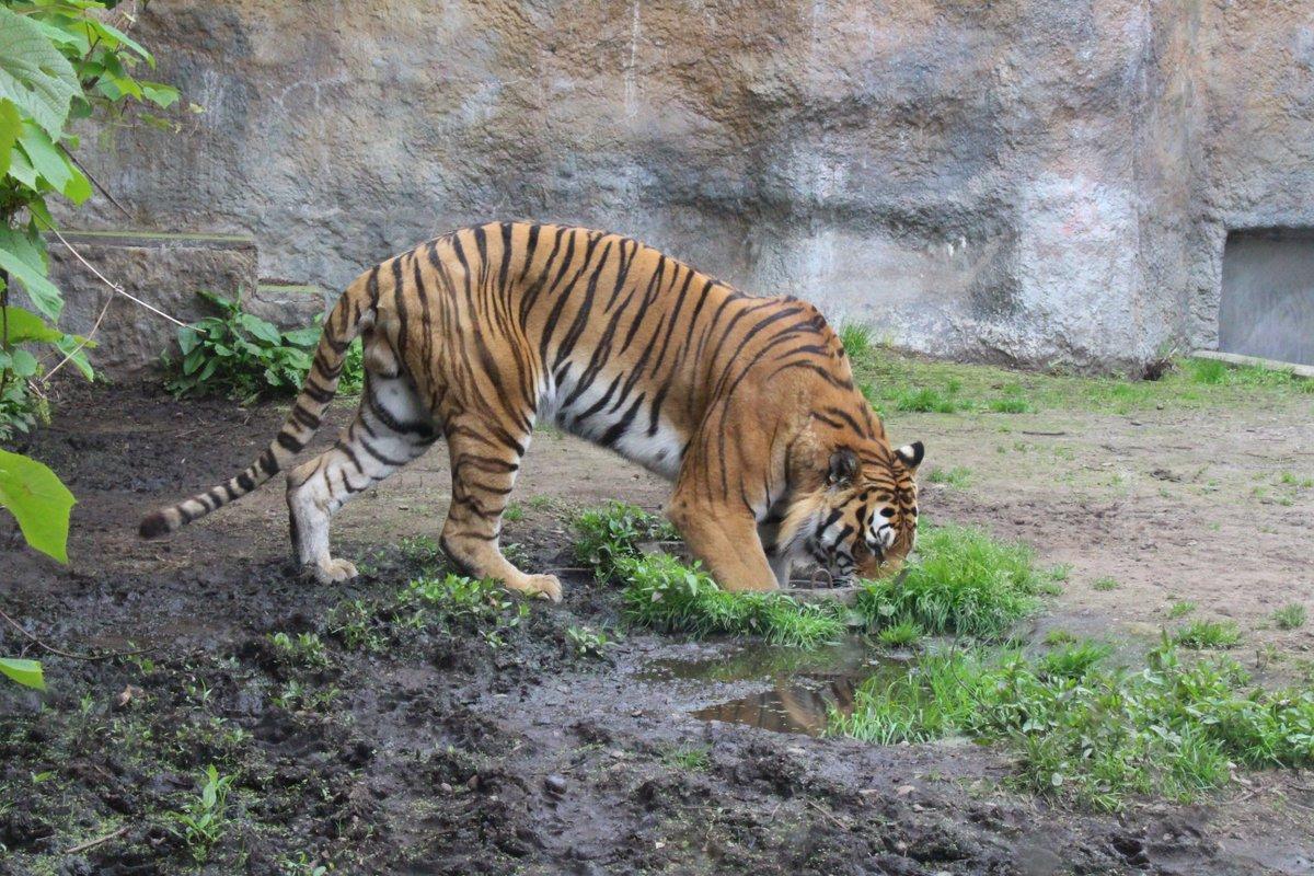 キリルさん、そこはそんな風に使うところですか? プールにしては小さいですよね?(笑 猫科はやっぱり狭いところが好きなのかな? 底の方に少し水入っていたようです。  #旭山動物園 #アムールトラ #狭い所が好き https://t.co/Prrm5hbgw6