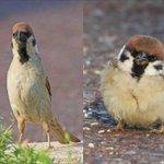 同じ鳥には見えない!?スズメは季節ごとに姿を変えるらしい!